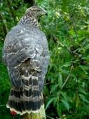 Accipiter Gentilis-samec