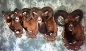 mufloni