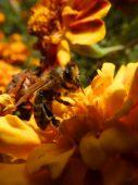 včela z archívu