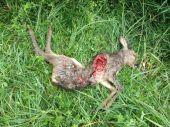 Úhyn srnčaťa - práca líšky