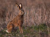 Zajac poľný na ústupe