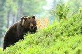Medved hnedy cca 300 kg