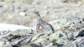 Snehuľa horská (Lagopus mutus)