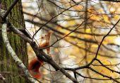 veverička stromová
