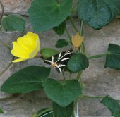 Přástevník kostivalový (Euplagia quadripunctaria)