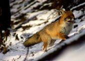 Moja prvá fotka líšky