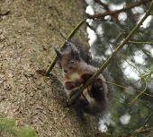 Pocukrovaná veverička