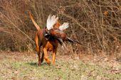 Poľovačka na bažantiu zver