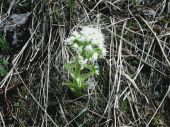 Deväťsil biely -petasites albus