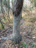 borovica - oterový strom