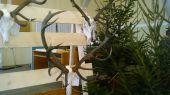 Zlatá rarita jeleňa z CHP Humenné