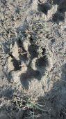 Čerstvá stopa vlka