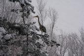 Volavka popolavá