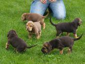 Bloodhound steniatka