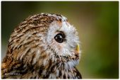 sova lesná / sova obyčajná Strix aluco  Tawny Owl