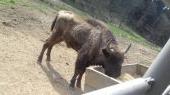 Zubor (Bison antiquus)