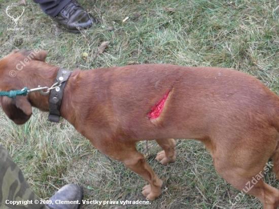 Pes napadnutý diviakom v hone