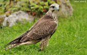 Sokol rároh (Falco cherrug)