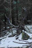 uhyn jeleňa