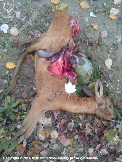 Práca pytlačiacich psov(2)