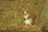 veveričiak