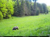 Medveď a jelene