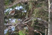 Jeřábek z jara