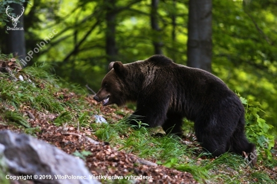 Medvedia ruja v plnom prúde