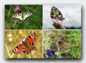 ,,Polovačka,,na motýle