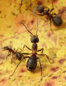 mravec lesný