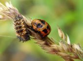 larva lienky