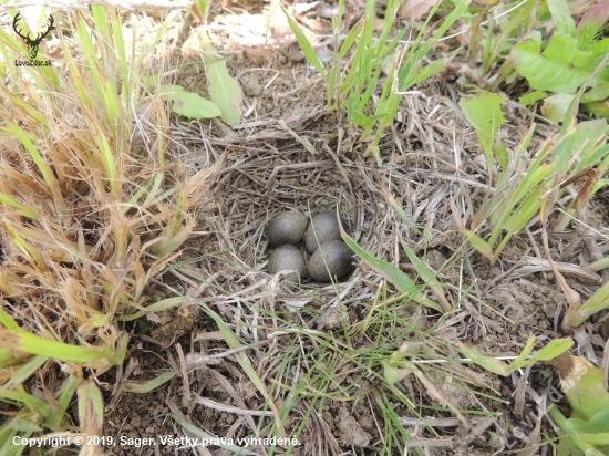 Hniezdo Škovránka poľného (Alauda arvensis).