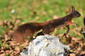 hrdzavá veverička