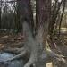 Diviačí strom