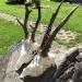 Oryx a starček z Maďarska.