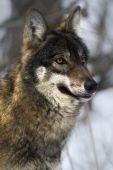 vlk z blízka..
