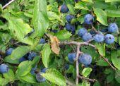 trnka obyčajná (Prunus spinosa)