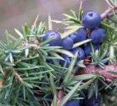 borievka obyčajná (Juniperus communis)