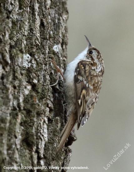 kôrovník dlhoprstý- Certhia familiaris