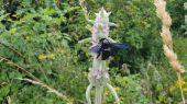 Drevár fialový