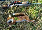Z lovu lišky - čas malej pomsty