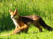 Junger wilder Fuchs- Mlade dive lisky