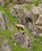 Kamzík vrchovský Alpský