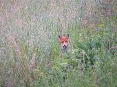 Lov lišok s Weisskirchen - Fox hunt with Weisskirchen