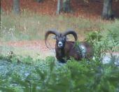 Muflónia zver na jeseň