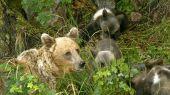 Medvedica s rodinkou