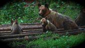 Medvedia rodinka na kŕmení