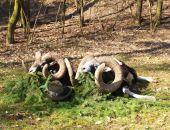 Čeští mufloni