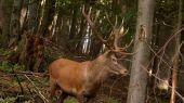 jelen v ruji