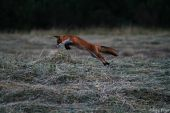 Úspešný líščí lov